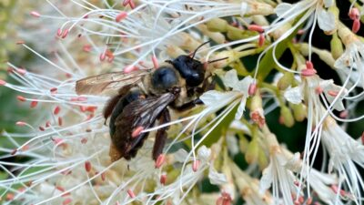 Carpenter Bee, a Pollinator, on Bottlebush Buckeye